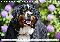 Ein Herz auf 4 Pfoten - Berner Sennenhund (Tischkalender 2019 DIN A5 quer) - Produktdetailbild 5