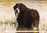 Ein Herz auf 4 Pfoten - Berner Sennenhund (Tischkalender 2019 DIN A5 quer) - Produktdetailbild 6