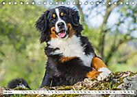 Ein Herz auf 4 Pfoten - Berner Sennenhund (Tischkalender 2019 DIN A5 quer) - Produktdetailbild 7
