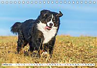 Ein Herz auf 4 Pfoten - Berner Sennenhund (Tischkalender 2019 DIN A5 quer) - Produktdetailbild 10