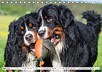 Ein Herz auf 4 Pfoten - Berner Sennenhund (Tischkalender 2019 DIN A5 quer) - Produktdetailbild 3