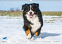 Ein Herz auf 4 Pfoten - Berner Sennenhund (Wandkalender 2019 DIN A3 quer) - Produktdetailbild 1