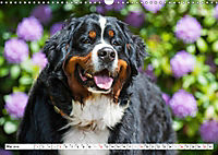 Ein Herz auf 4 Pfoten - Berner Sennenhund (Wandkalender 2019 DIN A3 quer) - Produktdetailbild 5