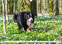 Ein Herz auf 4 Pfoten - Berner Sennenhund (Wandkalender 2019 DIN A3 quer) - Produktdetailbild 4