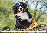 Ein Herz auf 4 Pfoten - Berner Sennenhund (Wandkalender 2019 DIN A3 quer) - Produktdetailbild 7