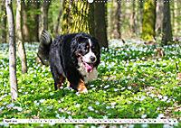 Ein Herz auf 4 Pfoten - Berner Sennenhund (Wandkalender 2019 DIN A2 quer) - Produktdetailbild 4