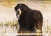 Ein Herz auf 4 Pfoten - Berner Sennenhund (Wandkalender 2019 DIN A2 quer) - Produktdetailbild 6