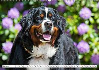 Ein Herz auf 4 Pfoten - Berner Sennenhund (Wandkalender 2019 DIN A2 quer) - Produktdetailbild 5