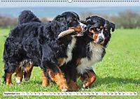 Ein Herz auf 4 Pfoten - Berner Sennenhund (Wandkalender 2019 DIN A2 quer) - Produktdetailbild 9