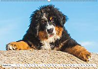 Ein Herz auf 4 Pfoten - Berner Sennenhund (Wandkalender 2019 DIN A2 quer) - Produktdetailbild 8