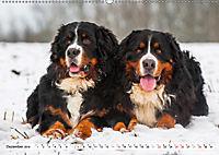Ein Herz auf 4 Pfoten - Berner Sennenhund (Wandkalender 2019 DIN A2 quer) - Produktdetailbild 12