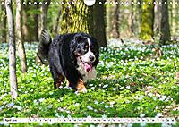 Ein Herz auf 4 Pfoten - Berner Sennenhund (Wandkalender 2019 DIN A4 quer) - Produktdetailbild 4