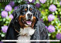 Ein Herz auf 4 Pfoten - Berner Sennenhund (Wandkalender 2019 DIN A4 quer) - Produktdetailbild 5