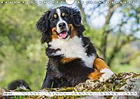 Ein Herz auf 4 Pfoten - Berner Sennenhund (Wandkalender 2019 DIN A4 quer) - Produktdetailbild 7