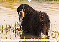 Ein Herz auf 4 Pfoten - Berner Sennenhund (Wandkalender 2019 DIN A4 quer) - Produktdetailbild 6