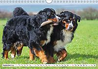 Ein Herz auf 4 Pfoten - Berner Sennenhund (Wandkalender 2019 DIN A4 quer) - Produktdetailbild 9
