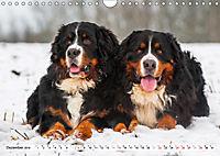 Ein Herz auf 4 Pfoten - Berner Sennenhund (Wandkalender 2019 DIN A4 quer) - Produktdetailbild 12