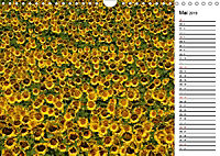 Ein Jahr lang Sonnenblumen (Wandkalender 2019 DIN A4 quer) - Produktdetailbild 5