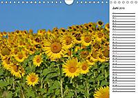 Ein Jahr lang Sonnenblumen (Wandkalender 2019 DIN A4 quer) - Produktdetailbild 6