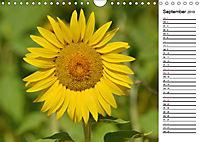 Ein Jahr lang Sonnenblumen (Wandkalender 2019 DIN A4 quer) - Produktdetailbild 9