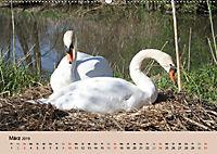 Ein Jahr mit der Abensberger Schwanenfamilie (Wandkalender 2019 DIN A2 quer) - Produktdetailbild 3