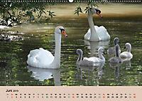 Ein Jahr mit der Abensberger Schwanenfamilie (Wandkalender 2019 DIN A2 quer) - Produktdetailbild 6