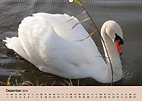 Ein Jahr mit der Abensberger Schwanenfamilie (Wandkalender 2019 DIN A2 quer) - Produktdetailbild 12