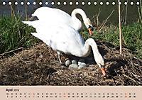 Ein Jahr mit der Abensberger Schwanenfamilie (Tischkalender 2019 DIN A5 quer) - Produktdetailbild 4
