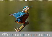 Eisvögel - emotionale Momente mit den fliegenden Edelsteinen (Wandkalender 2019 DIN A3 quer) - Produktdetailbild 4