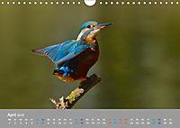 Eisvögel - emotionale Momente mit den fliegenden Edelsteinen (Wandkalender 2019 DIN A4 quer) - Produktdetailbild 4