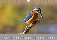 Eisvögel - emotionale Momente mit den fliegenden Edelsteinen (Wandkalender 2019 DIN A4 quer) - Produktdetailbild 1