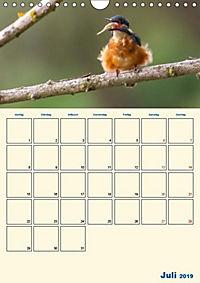 Eisvogel - einfach liebenswert, das flinke Kerlchen (Wandkalender 2019 DIN A4 hoch) - Produktdetailbild 4