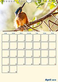 Eisvogel - einfach liebenswert, das flinke Kerlchen (Wandkalender 2019 DIN A4 hoch) - Produktdetailbild 9