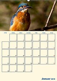 Eisvogel - einfach liebenswert, das flinke Kerlchen (Wandkalender 2019 DIN A2 hoch) - Produktdetailbild 6