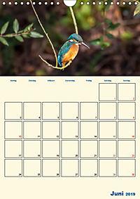 Eisvogel - einfach liebenswert, das flinke Kerlchen (Wandkalender 2019 DIN A4 hoch) - Produktdetailbild 6