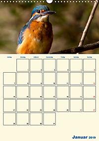 Eisvogel - einfach liebenswert, das flinke Kerlchen (Wandkalender 2019 DIN A3 hoch) - Produktdetailbild 1