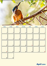 Eisvogel - einfach liebenswert, das flinke Kerlchen (Wandkalender 2019 DIN A2 hoch) - Produktdetailbild 4