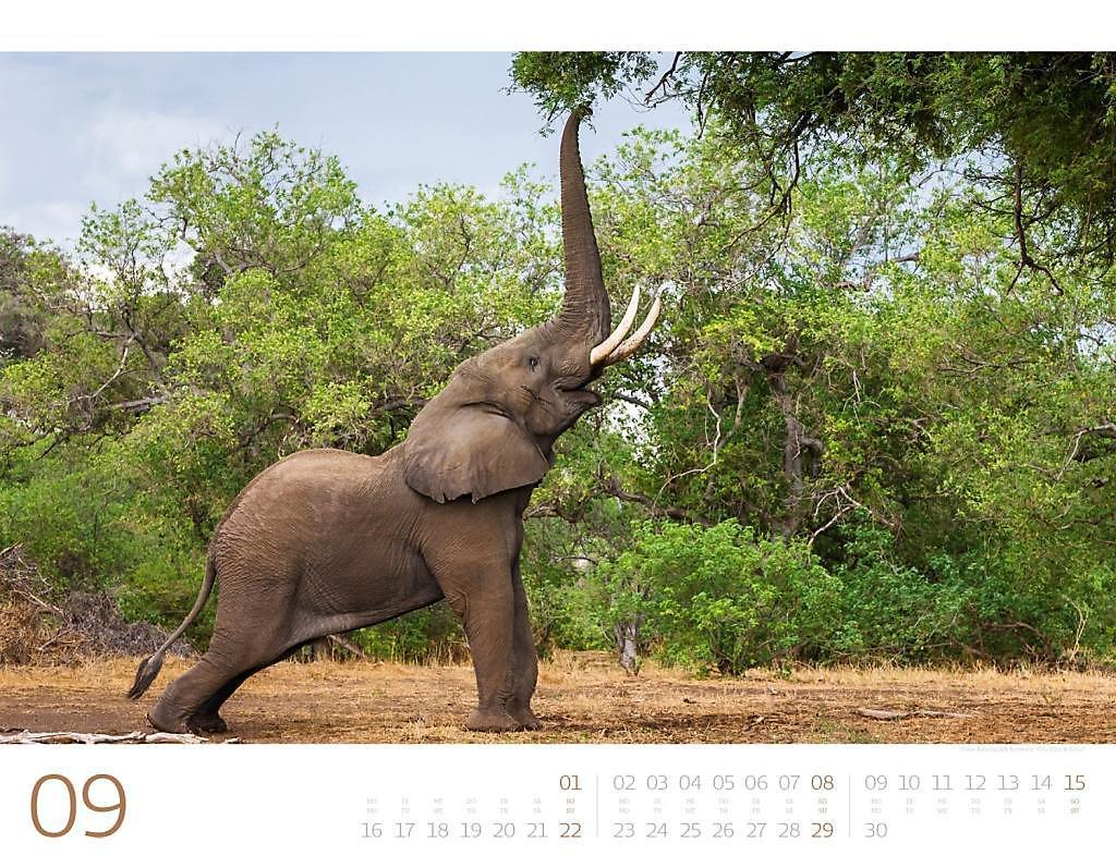 elefanten 2019 kalender jetzt g nstig bei. Black Bedroom Furniture Sets. Home Design Ideas