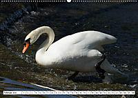 Elegante Schwäne (Wandkalender 2019 DIN A2 quer) - Produktdetailbild 2