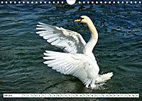 Elegante Schwäne (Wandkalender 2019 DIN A4 quer) - Produktdetailbild 7