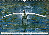 Elegante Schwäne (Wandkalender 2019 DIN A4 quer) - Produktdetailbild 3
