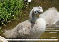 Elegante Schwäne (Wandkalender 2019 DIN A4 quer) - Produktdetailbild 6