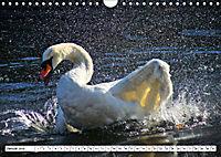 Elegante Schwäne (Wandkalender 2019 DIN A4 quer) - Produktdetailbild 1