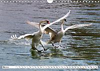 Elegante Schwäne (Wandkalender 2019 DIN A4 quer) - Produktdetailbild 5