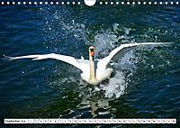 Elegante Schwäne (Wandkalender 2019 DIN A4 quer) - Produktdetailbild 9
