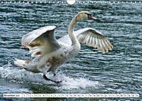Elegante Schwäne (Wandkalender 2019 DIN A4 quer) - Produktdetailbild 11