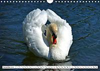 Elegante Schwäne (Wandkalender 2019 DIN A4 quer) - Produktdetailbild 12