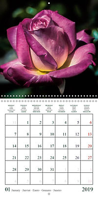 Eltville's roses (Wall Calendar 2019 300 × 300 mm Square) - Produktdetailbild 1