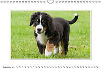Emotional Moments: Bernese Mountain Dog. UK-Version (Wall Calendar 2019 DIN A4 Landscape) - Produktdetailbild 9