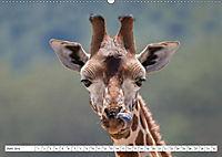Emotionale Momente: Giraffen, die höchsten Tiere der Welt. (Wandkalender 2019 DIN A2 quer) - Produktdetailbild 6